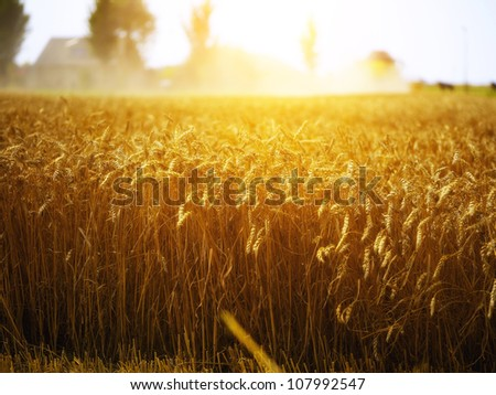 Wheat field at sunset at a dutch farmhouse - stock photo