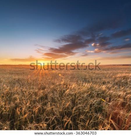 wheat field at sunset beautiful sky. blue sky - stock photo