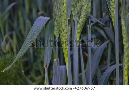 Wheat field at sunset. Ears closeup. The sunbeams. - stock photo