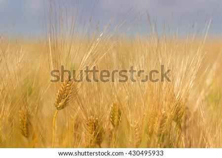Wheat field, Barley field on sunny day, Shallow depth of field - stock photo