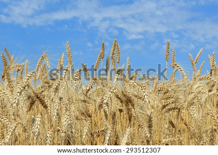 Wheat field before the harvest - stock photo