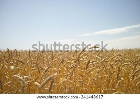 wheat field. close-up of wheat - stock photo