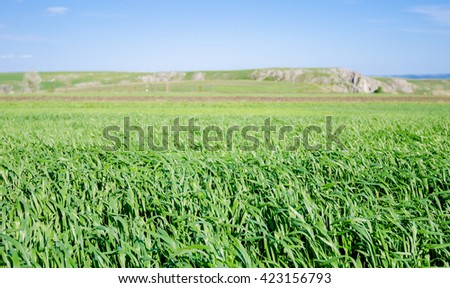 Wheat field during a sunny spring day with a fresh green young look suggesting natural organic agriculture - stock photo