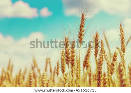 Wheat field. full of ripe grains, golden ears of wheat or rye close up on a blue sky background. small depth of field. Rich harvest Concept. majestic rural landscape. creative picture of nature. - stock photo