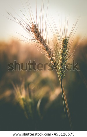 Wheat field. full of ripe grains, golden ears of wheat or rye close up. Rich harvest Concept. majestic rural landscape. retro style. vintage filter - stock photo