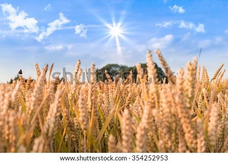 Wheat field in California - stock photo