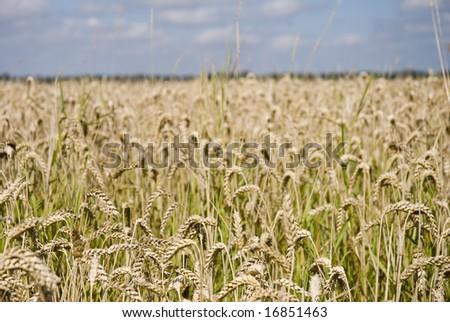 Wheat field in summer showing golden ears - stock photo