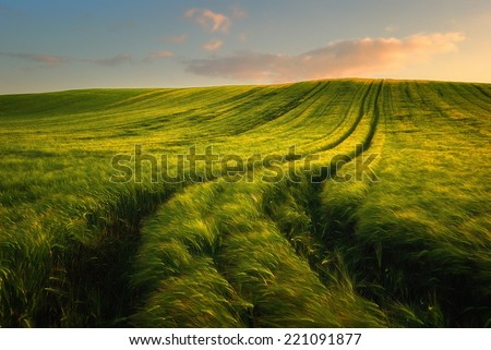 Wheat field landscape with path in the sunset time - stock photo
