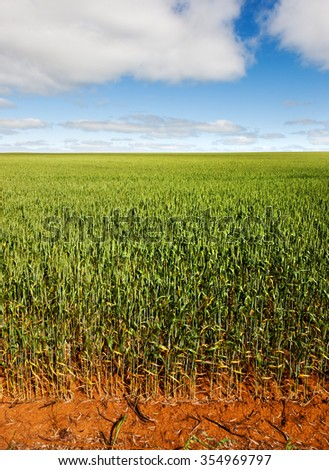 Wheat field near Renmark, australia. Farms are very large - stock photo