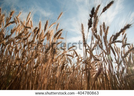 Wheat field on a sunset - stock photo