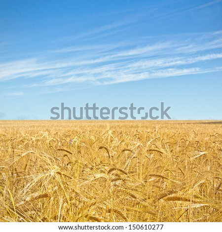 Wheat Field On Blue Sky Backdrop With Sunlight. High quality stock photo. - stock photo