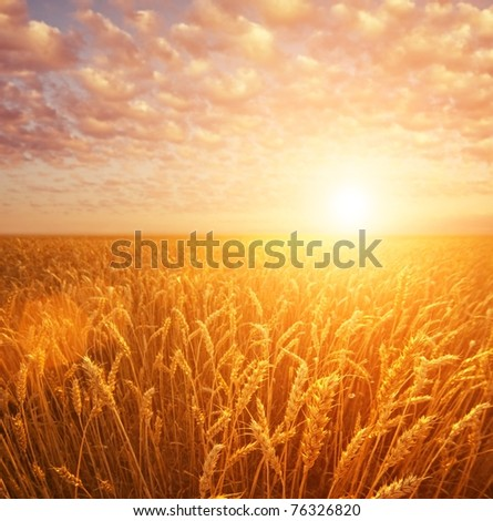 Wheat field over cloudy sky - stock photo
