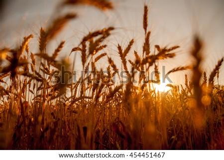 Wheat field sunset backlight (shallow depth of field) - stock photo