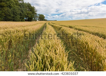 wheat field under a cloudy sky, with leading tracks Germany - stock photo