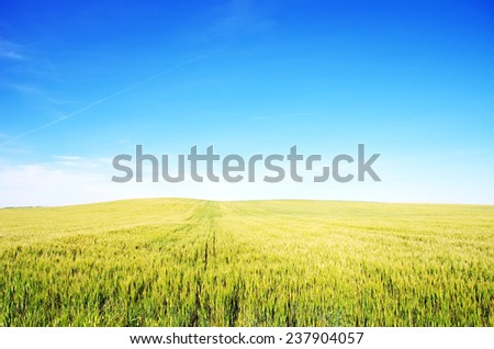 wheat field with blue sky in background  - stock photo