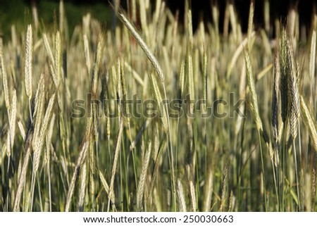 Wheat Field with Numerous Young Spikes - stock photo