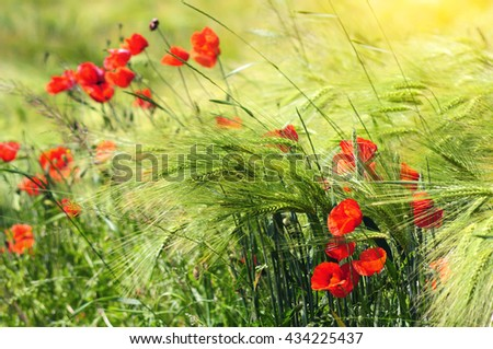 Wheat field with poppies - stock photo