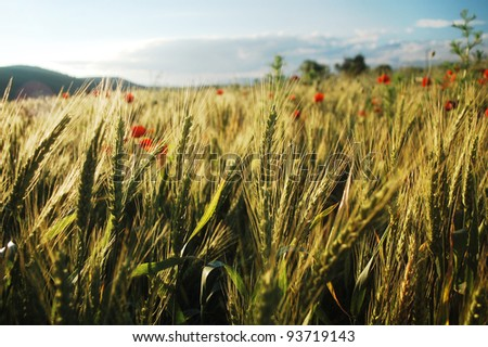 wheat field with red poppies in Romania, eastern Europe. - stock photo