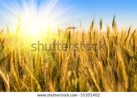Wheat field with sunlight on blue sky. Shallow deep of field - stock photo