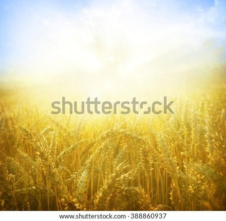 Wheat field.Yellow wheat ears field background - stock photo