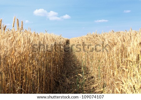 wheat fields under the sun in the summer before harvest - stock photo