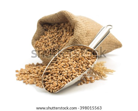 wheat grain in scoop isolated on white background - stock photo