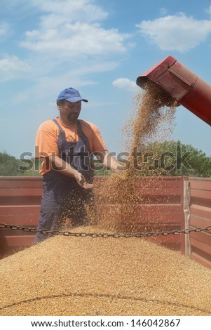 Wheat harvest, farmer and grain auger of combine pouring crop - stock photo