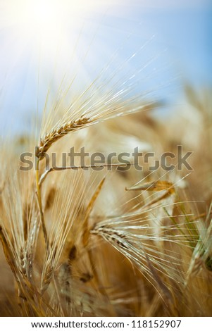 wheat in the field. - stock photo