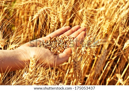 Wheat in woman's hand - stock photo