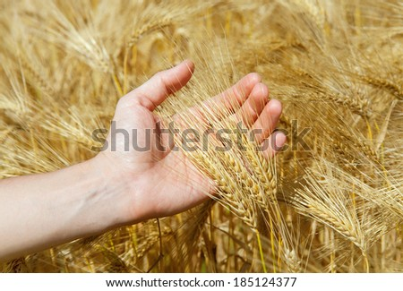 wheat is in a man's hand - stock photo