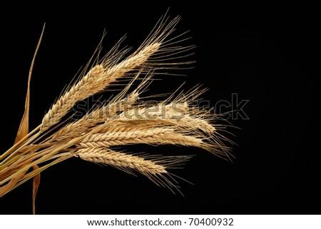 wheat isolated on black background - stock photo
