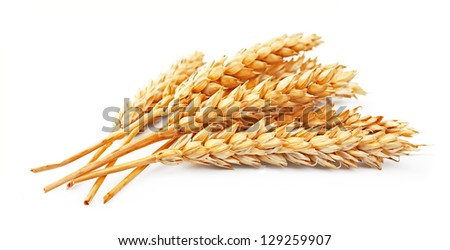 wheat isolated on white close up - stock photo