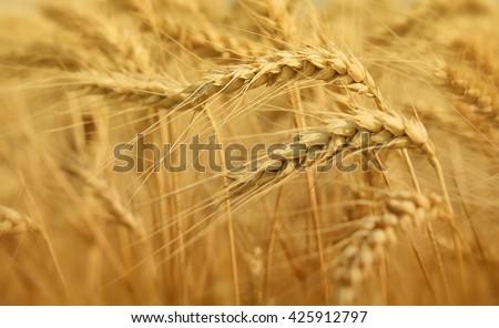 wheat macro - stock photo