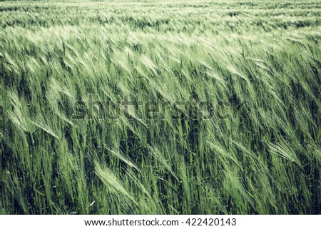 Wheat on a field in the wind - natural green eco background - stock photo