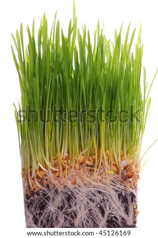 wheat seedling - stock photo