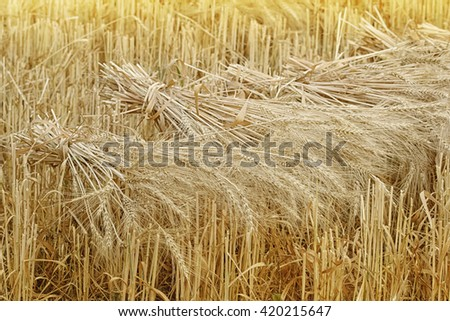 Wheat sheaves at the harvest in the field - stock photo