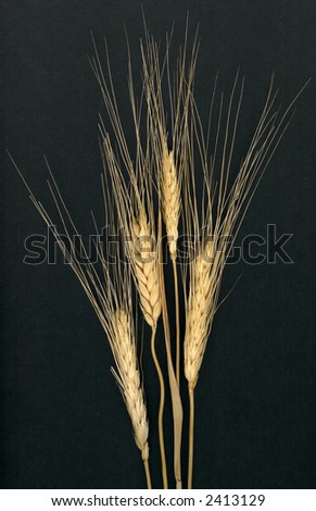 Wheat Stalks Isolated on Charcoal Gray Background - stock photo