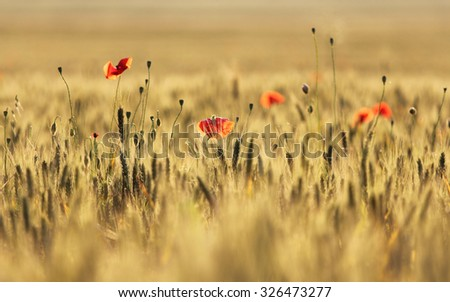Wheat summer cropland - stock photo