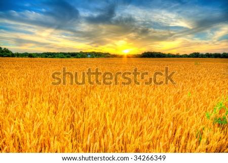 Wheat sunset - stock photo