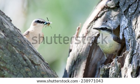 Wheatear (Oenanthe oenanthe).Wild bird in a natural habitat. Collage of two frames. Male (right) and female - stock photo