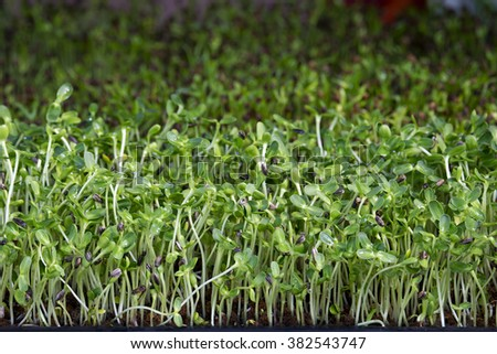 Wheatgrass juice - stock photo