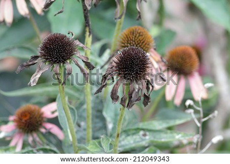 When the orange color of the center portion of the purple cone flower (Echinacea purpurea) turns black and leaves fall, it is ready for harvest. - stock photo