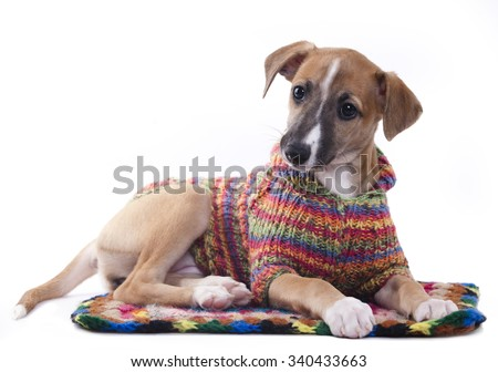 whippet puppy in a sweater knit - stock photo