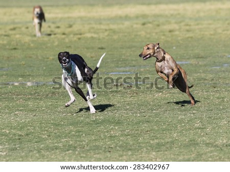 Whippets chasing each other and playing at the park - stock photo