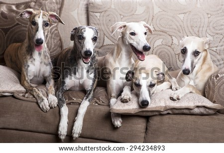 Whippets group lying on the sofa - stock photo