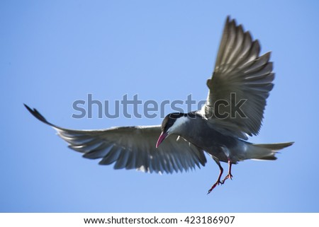 Whiskered tern in flight with open wings and red bill - stock photo