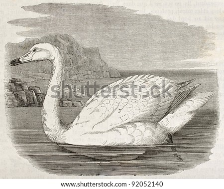 Whistling Swan old illustration (Cygnus columbianus). Created by Kretschmer, published on Merveilles de la Nature, Bailliere et fils, Paris, ca. 1878 - stock photo