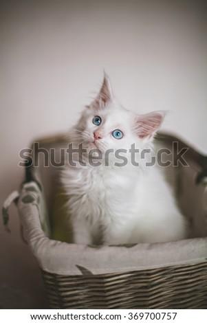 White adorable kitten sitting in a wicker basket  - stock photo