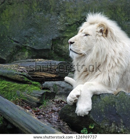White africa lion - stock photo