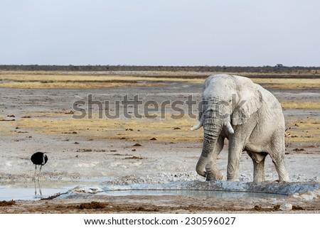 White african elephants on waterhole, Etosha national Park, Ombika, Kunene, Namibia. True wildlife photography - stock photo